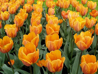 Orange-Tulips-flowers-pictures-flowers-wallpapers